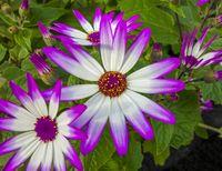 colorful chrysanths