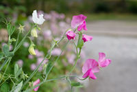 Decorative flowers of sweet peas in the garden