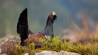 Dominant male of western capercaillie strutting in its natural spring habitat.