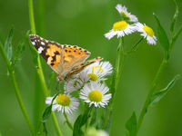 painted lady butterfly on a Daisy flowers