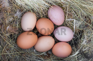 nest of chicken eggs in the chicken coop on the farm