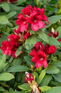 Rhododendron Hybrid Rabatz, Rhododendron hybrid