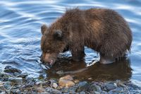 Cute brown bear cub eating caught red salmon fish standing on river bank. Wild animal child in natural habitat