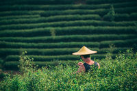 Man wearing traditional chinese Asian hat collecting tea on a plantation