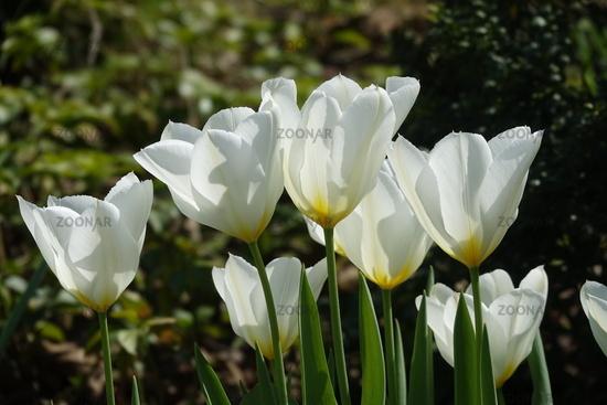 Tulipa White Triumphator, Tulpe, Tulip