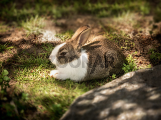 Cute and furry small young healthy baby pet rabbit lying down in natural fresh green grass and soil outside in countryside backyard farm garden happy  relaxing in warm summer sunlight