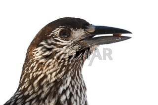 Spotted nutcracker holding a nut cut out on blank in detail.