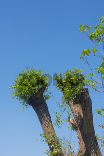 fresh new green leaves sprouting from a tree trunk