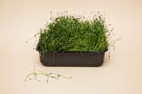 Micro greens sprouts of amaranth