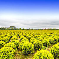Rows of Plant in Holland