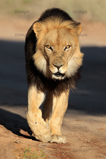 Walking African lion