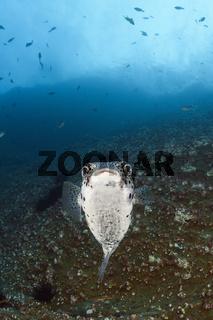 Gepunkteter Igelfisch, Mexiko