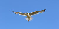Seagull flying in clear blue sky at sunny summer day