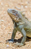 Close up green iguana head and front legs