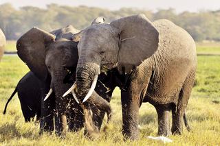 Elefanten beim Fressen, Amboseli