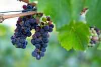 Grapes on the vineyards along the Red Wine Trail in the Ahr Valley, Germany