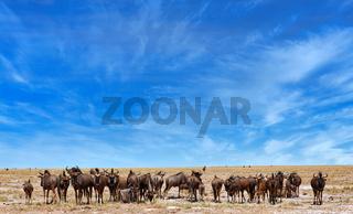 Gnus, Etosha-Nationalpark, Namibia | wildebeest, Etosha National Park, Namibia, (Connochaetes)