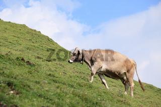 eine Kuh am steilen Berghang
