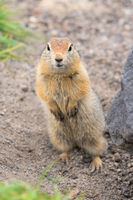 Close up portrait of curious arctic ground squirrel, animal stands on its hind legs and carefully looking at camera