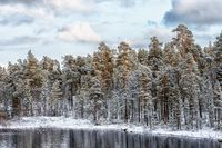 View of the frozen pinetree forest and river