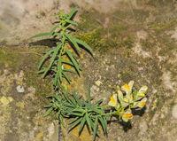 Echtes Leinkraut  'Linaria vulgaris'