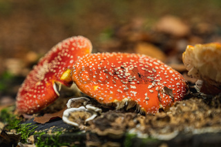 fly agarics in the forest