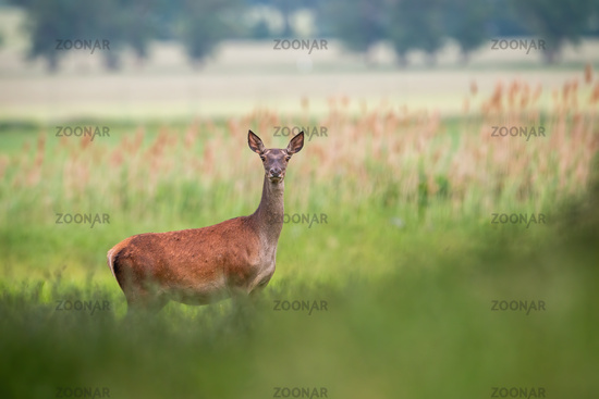Red deer female standing on meadow in summer nature.