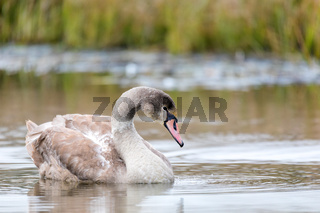 young mute swan morning at the pond