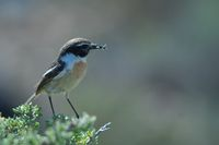 Canary Islands stonechat with food for its chicks.