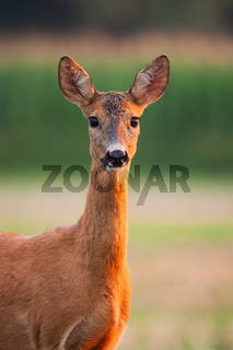 Roe deer doe watching on field in summer from close up.