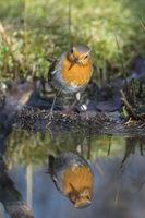Rotkehlchen, Erithacus rubecula, Robin