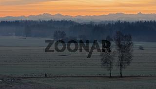Birken in der winterlichen Morgenröte