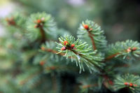 Fir-tree branches with cones