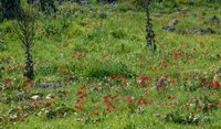 Frühlingswiese mit Kronen-Anemone
