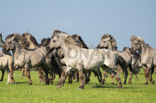 Group of running wild konik horses on a sunny day with blue sky and green grass