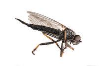 Große tote schwarze  Mücke liegt auf der Seite vor weißem Hintergrund