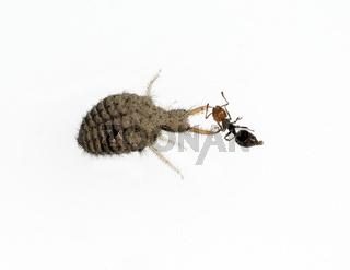Ameisenloewe mit gefangener Ameise