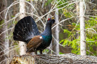 Dominant western capercaillie lekking on the fallen tree trunk