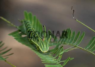 Common Nawab Caterpillar, Thane, Maharashtra, India