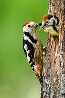 Middle spotted woodpecker feeding young chick on a nest in tree in summer nature