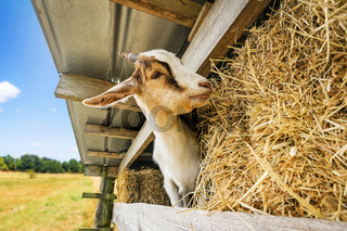 goat eating hay at a barn in a rural environment