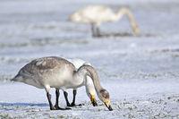 Singschwan Jungvogel und Altvoegel auf einer schneebedeckten Wiese