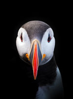 Peter Puffin