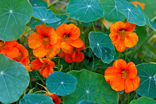 Nasturtium - South American trailing plNasturtium - South American trailing plant with round leaves and bright orange, yellow, or red ornamental edible flowers nt with round leaves and bright orange, yellow, or red edible flowers that is widely grown as a