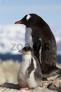 gentoo penguin female and chick standing on a rock