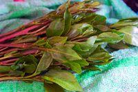 Khat plant