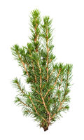 branches of natural spruce isolated on white