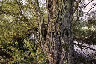 Weidenbaum an der Saale