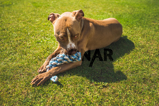 Dog American staffordshire terrier, amstaff. Bites rope toy on green grass