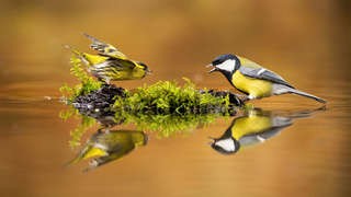 Eurasian siskin and great tit fighting over spot in drinking pool